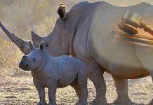 Rhino poaching foiled, policeman arrested on game lodge, Rustenburg. Photo: SAPS