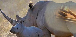 Rhino poaching foiled, policeman arrested on game lodge, Rustenburg. Photo: SAPS