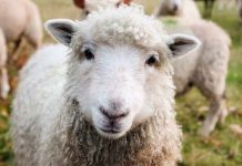 Stock theft: 2 Arrested with slaughtered sheep, Seymour