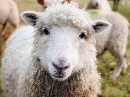 Stock theft, man arrested with stolen sheep, Humansdorp