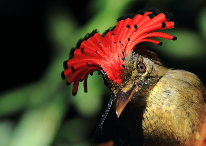 A Royal Flycatcher (Onychorhynchus coronatus) spends time in the moist Amazon understory foraging. Photo by Philip Stouffer.