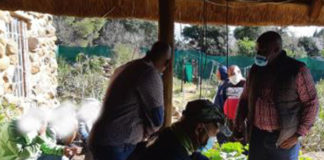 Huge dagga plantation and processing laboratory, 8 arrested, Bloemspruit. Photo: SAPS