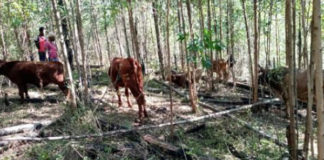 Stock Theft: Cattle stolen from Ngome farm recovered, suspect in court. Photo: SAPS