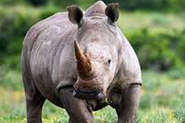 White Rhino poached, lookout for three vehicles, Weenen