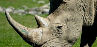 Shipping agent arrested, over R3 million worth of rhino horns seized, ORTIA