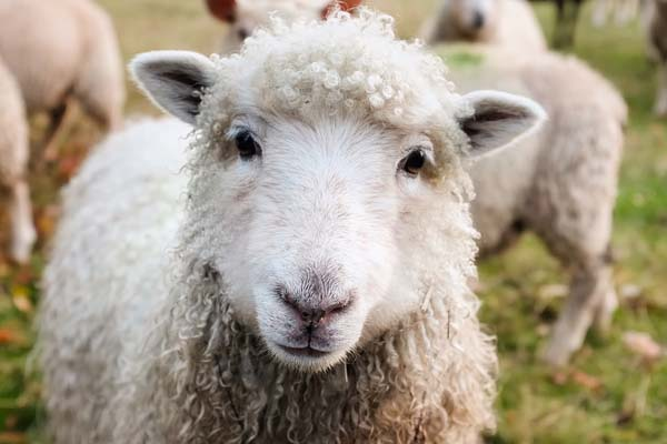 Stock thieves slaughter sheep on Hanover farm, NC