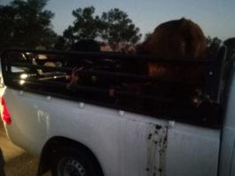3 Stolen cows recovered, Elliot farm. Photo: SAPS
