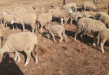 Mount Fletcher stock theft unit recover 47 stolen sheep. Photo: SAPS