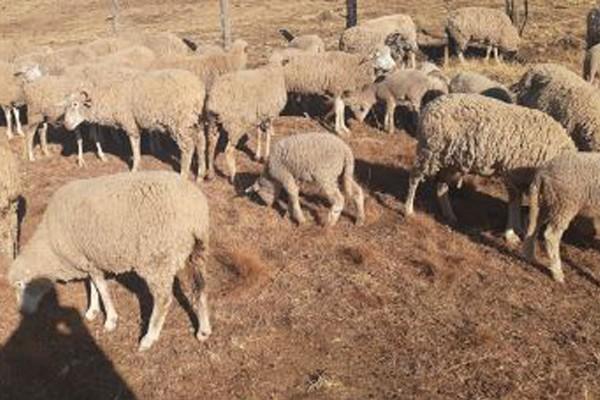 Mount Fletcher stock theft unit recover 47 stolen sheep. Photo: SAPS
