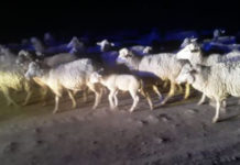 Swift response, shootout, 60 stolen sheep recovered, Mount Fletcher. Photo: SAPS