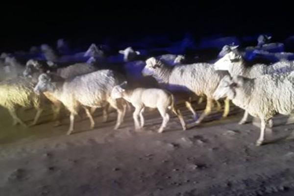 Swift response, shootout, 60 stolen sheep recovered, Mount Fletcher. Photo: SAPS