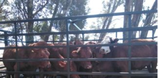 35 Cattle stolen on KZN farms recovered. Photo: SAPS