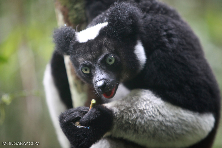 An Indri or babakoto (Indri indri), the largest species of lemur and one of the charismatic animals that draw visitors from around the world to Analamazoatra National Park. Image by Rhett A. Butler.