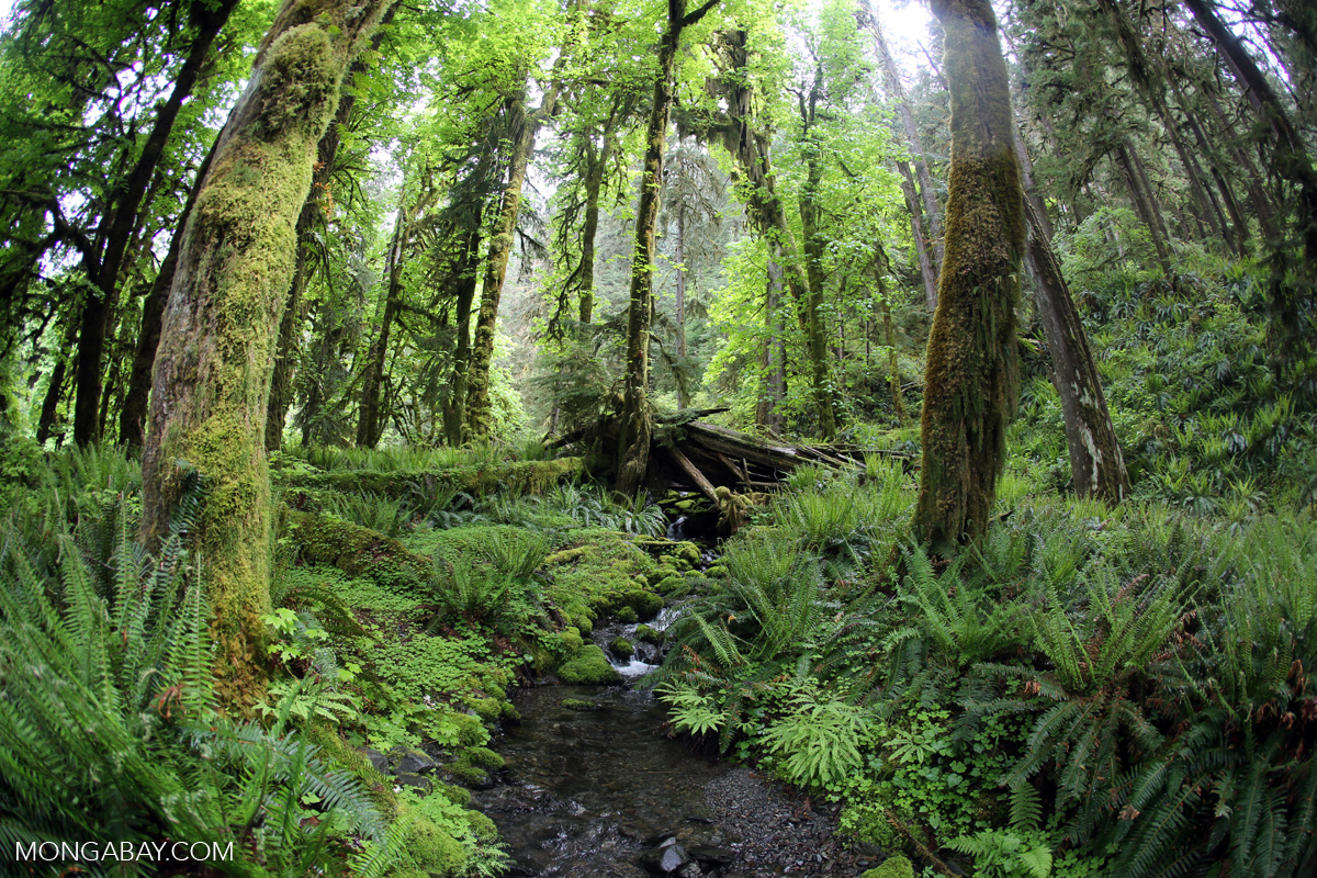 Temperate rainforest in Washington State's Olympic National Park. Photo by Rhett A. Butler.