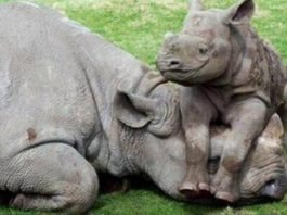 Farmer sentenced for dealing in rhino horns without permit
