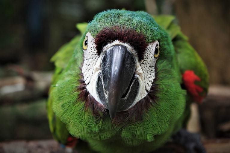 Macaw at Ambue Ari Sanctuary of Comunidad Inti Wara Yassi. Courtesy of CIWY / Lidewij Croes