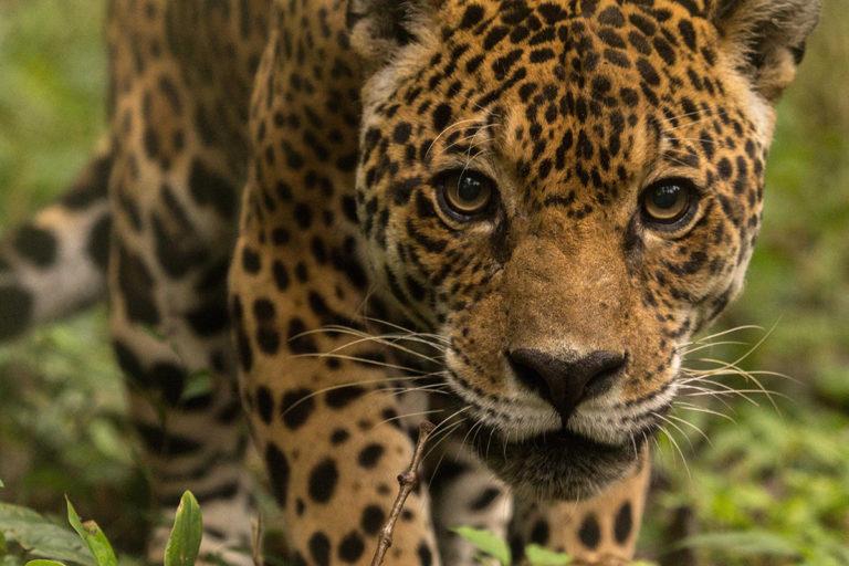 Jaguar at Ambue Ari Sanctuary of Comunidad Inti Wara Yassi. Courtesy of CIWY