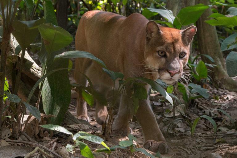 Puma at Ambue Ari Sanctuary of Comunidad Inti Wara Yassi. Courtesy of CIWY