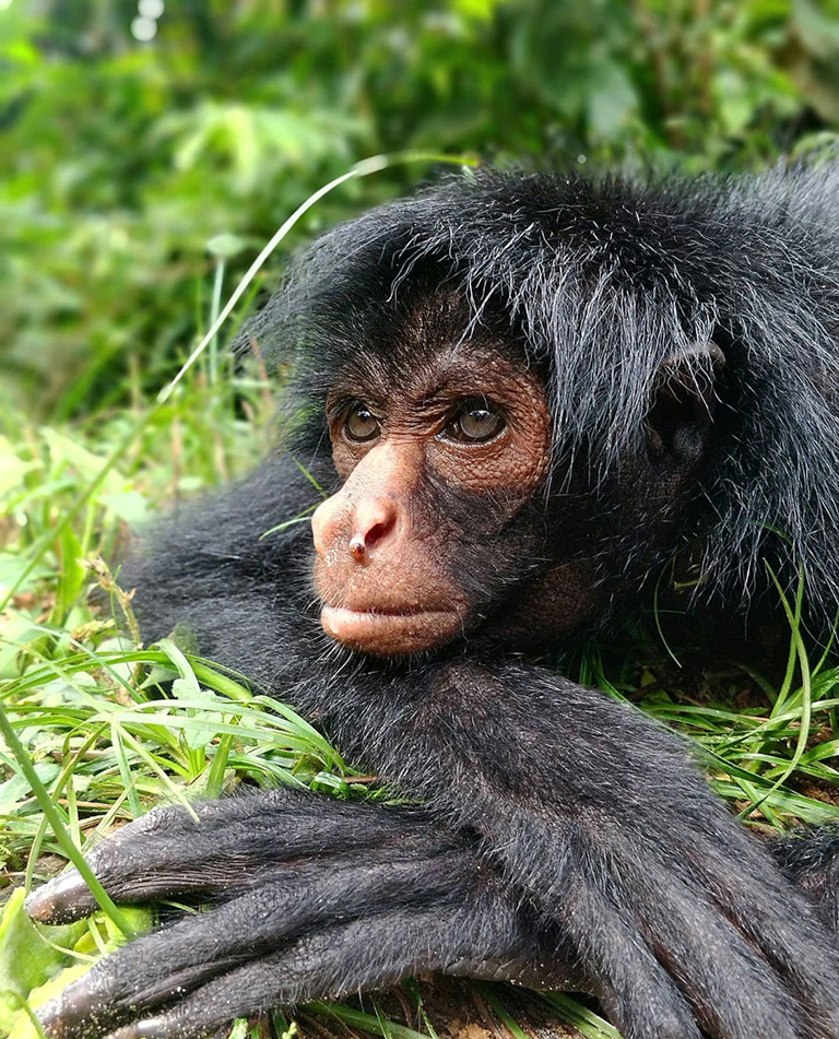 Spider monkey at Ambue Ari Sanctuary of Comunidad Inti Wara Yassi. Courtesy of CIWY