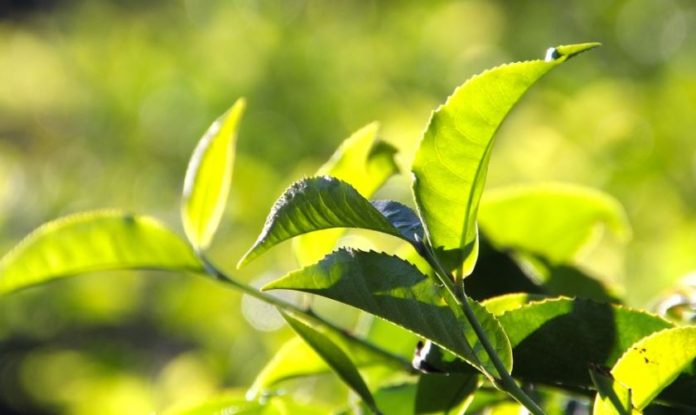 Magwa Tea Estate: Like SAA, just another government failed 'bottomless pit' project