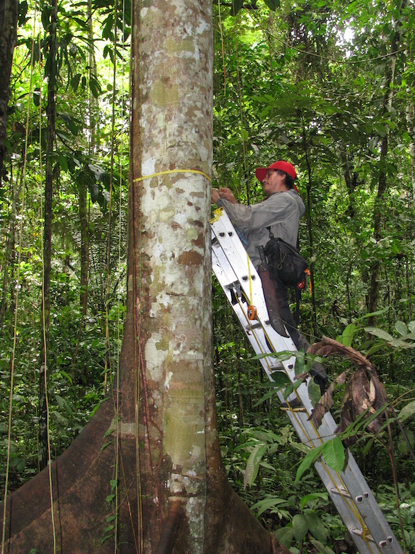 Tree monitoring in action on a RAINFOR plot in Peru. Photo courtesy of Roel Brienen.