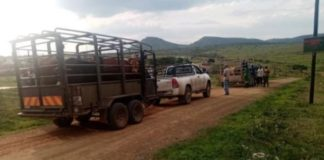 Stock theft, 14 cattle recovered, 2 arrested, Gluckstadt. Photo: SAPS